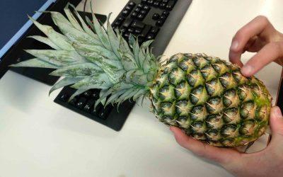 Poskus določanja filotakse pri ananasu, Ali način pridelave ananasa vpliva na njegovo filotakso?
